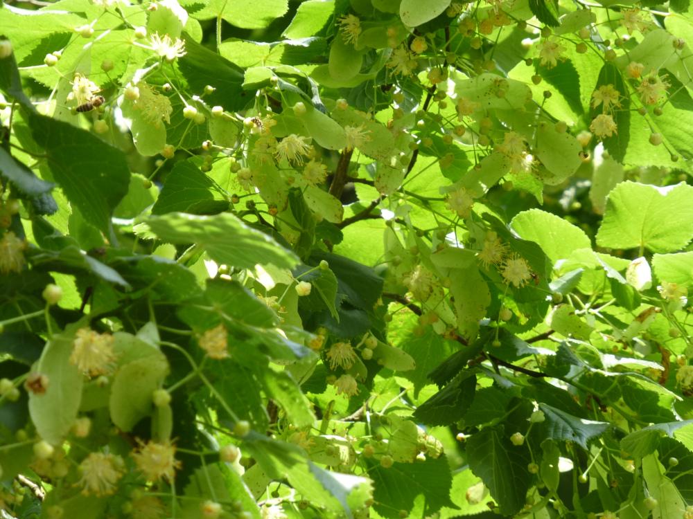 unter linden lindenblüten